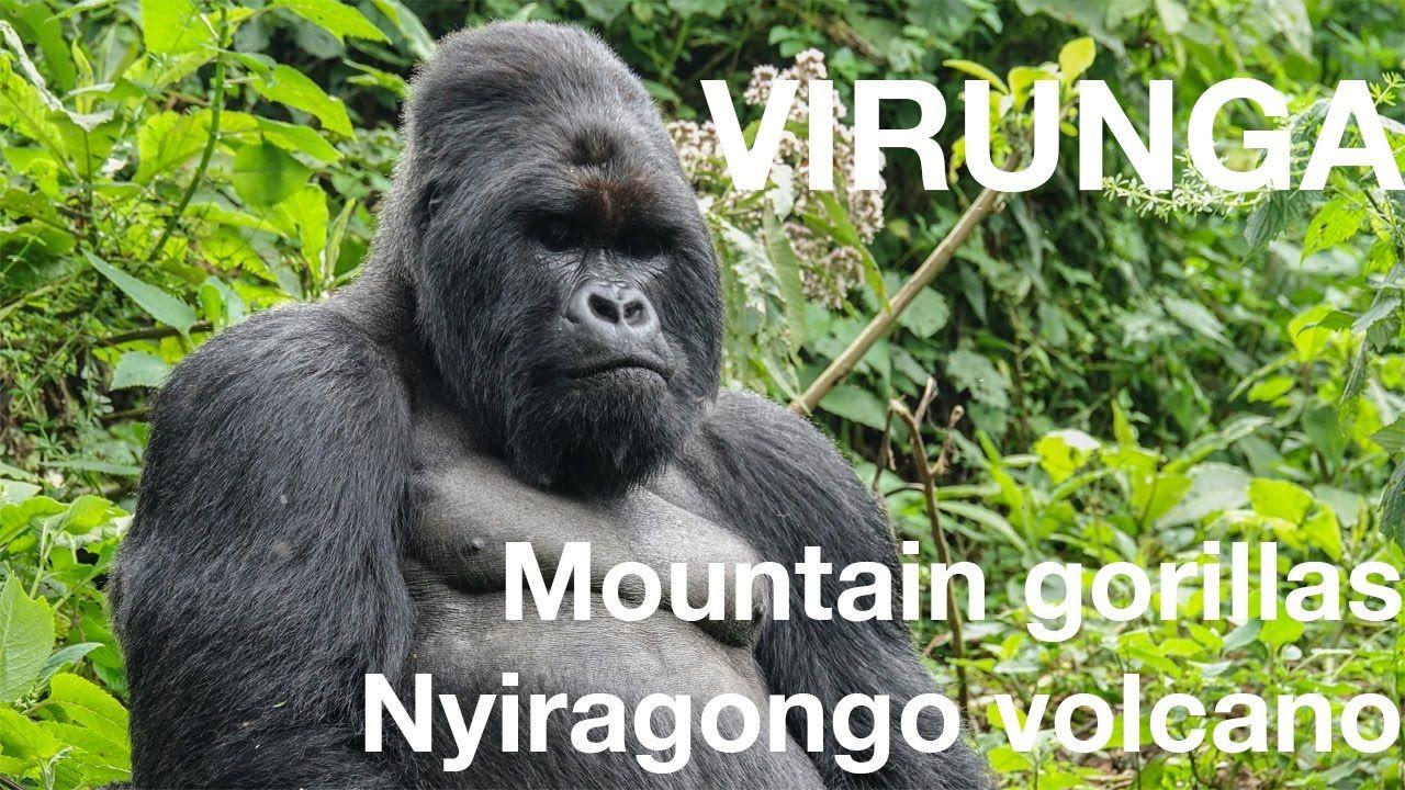 Mountain gorillas and Nyiragongo volcano at Virunga NP