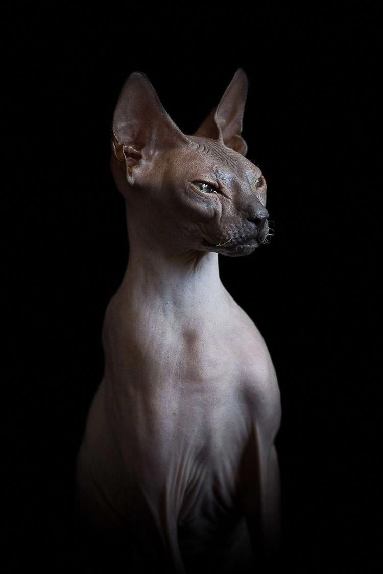 For Sale Siamese Cats Catsstandingup Hairless Cat Sphynx Cat Hairless Cat Sphynx