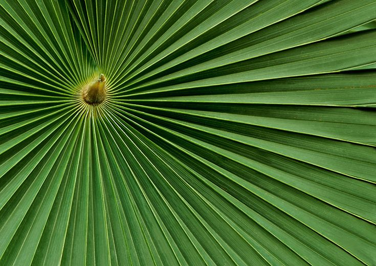 coconut palm leaves