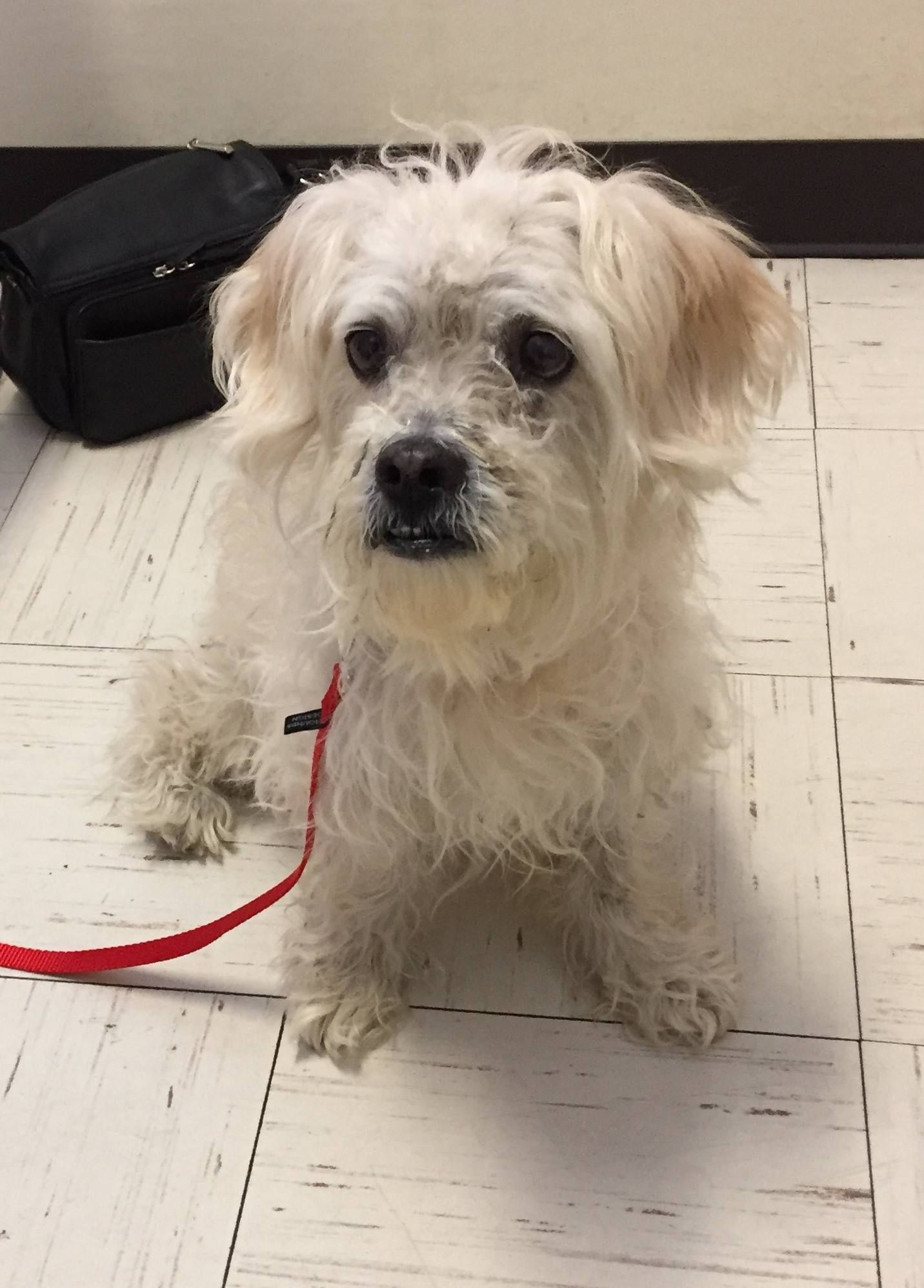 Poodle Rescue Connecticut Inc Added 3 New Photos March 29 At 3 56pm My Name Is Paisley I M An Unneutered Male With Horrible Poodle Rescue Poodle Animals