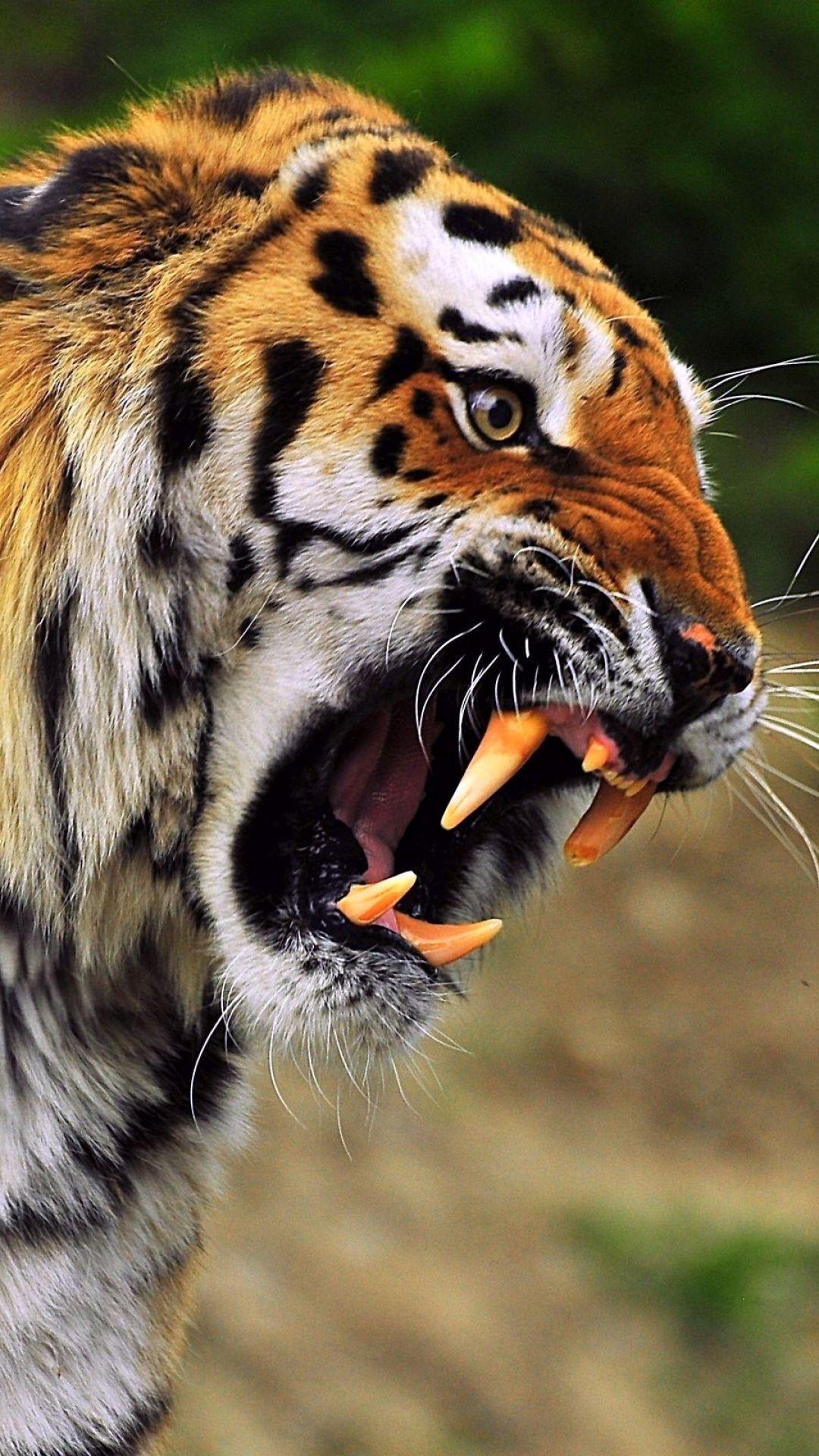 Tiger Face Wallpapers Wallpaper