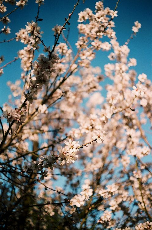 hellanne:    these blossoms are already gone (by jkrine)//