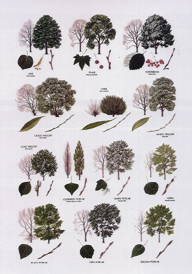 Wild flowers of britain guardian wallchart prints easyart tree identification poplars willow lime buycottarizona