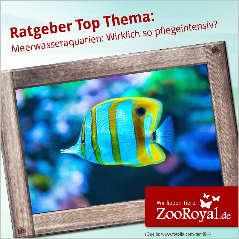 Meerwasseraquarien sind besonders schön anzusehen, doch viele Aquarianer haben zu viel Respekt vor der Pflege und entscheiden sich für ein Süßwasseraquarium - doch das muss nicht sein. Was du alles zum Meerwasseraquarium wissen solltest, kannst du hier nachlesen:  http://www.zooroyal.de/ratgeber/aquaristik/meerwasseraquarien-tipps-und-tricks/