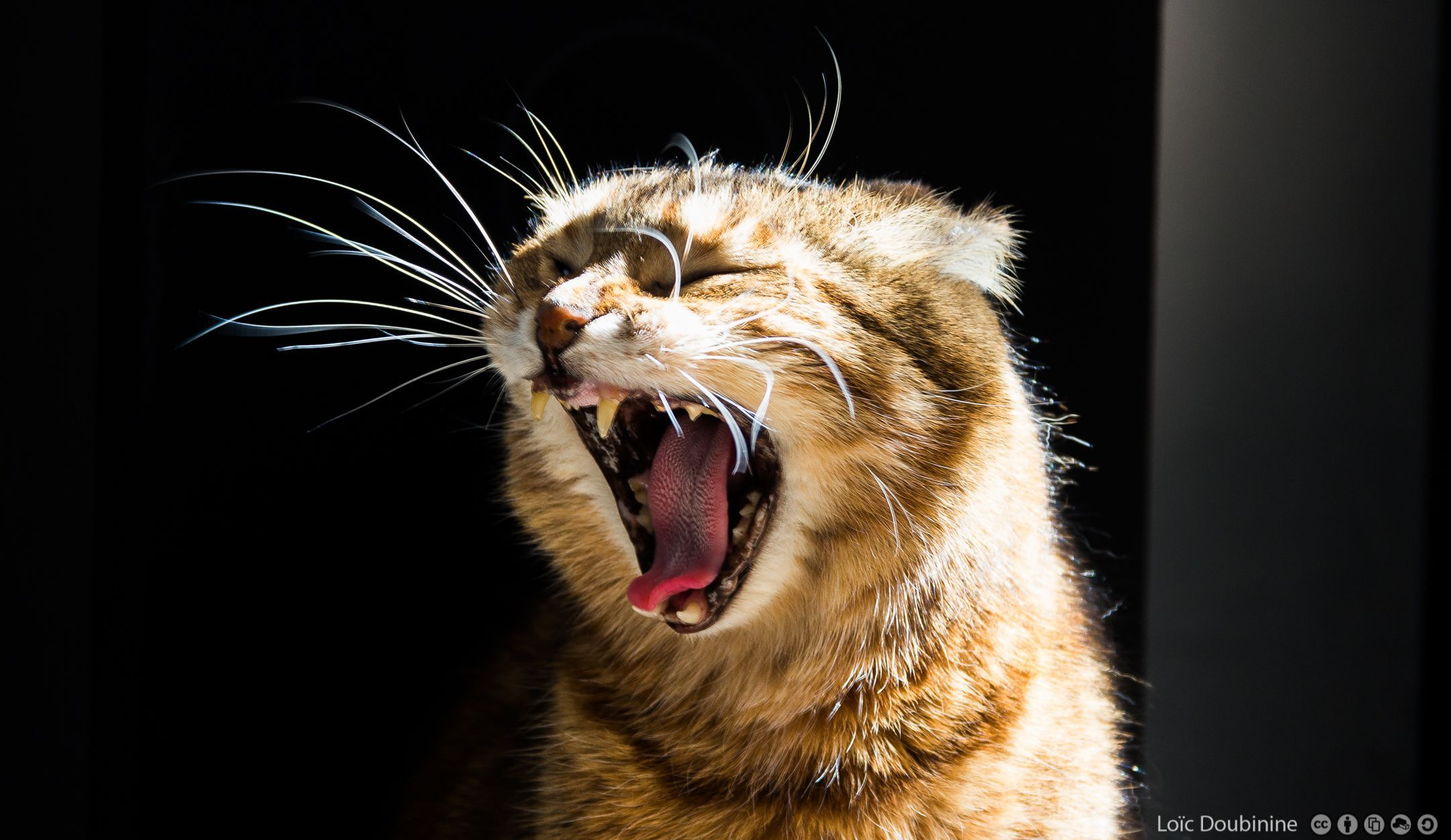 Cats Wallpapers speckled Cat Attacking Best Wallpaper