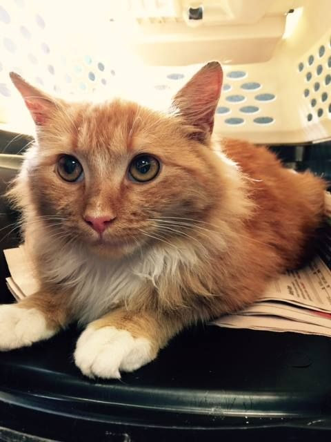 Stamford Animal Control Center   Stamford, CT https://www.facebook.com/StamfordAnimalControl/posts/511292302373832 FOUND CAT!!!! Found orange and white cat on Alden st in stamford    Does not have a microchip. Contact Roushan 203-524-6139