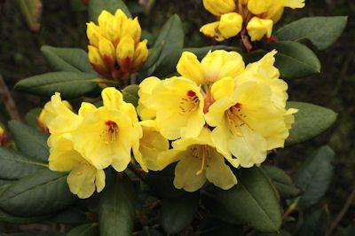 Hirsutum Info Rhododendron Hybrids X2f Cultivars 39 Gedser Gold 39 Rhododendron Gedser Hybrids