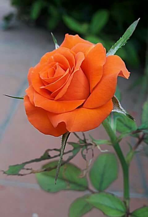 Orange Rose Orange Roses Pinterest Orange roses Rose and