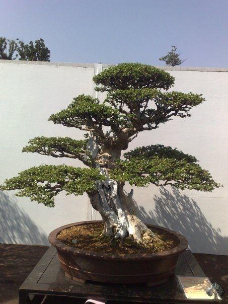 Bonsai bonsai pinterest japanische baum und pflanzen for Bonsai pflanzen