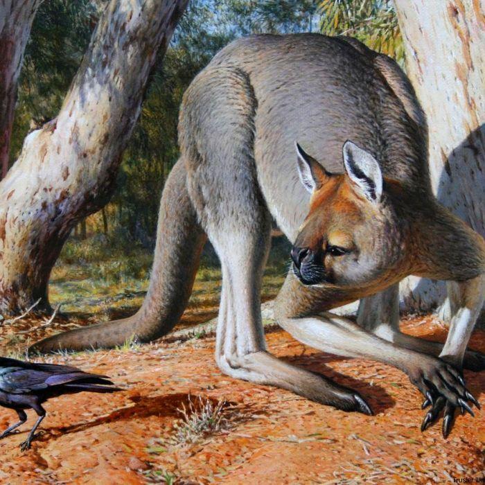 Giant kangaroo extinction theory disputed Prehistoric