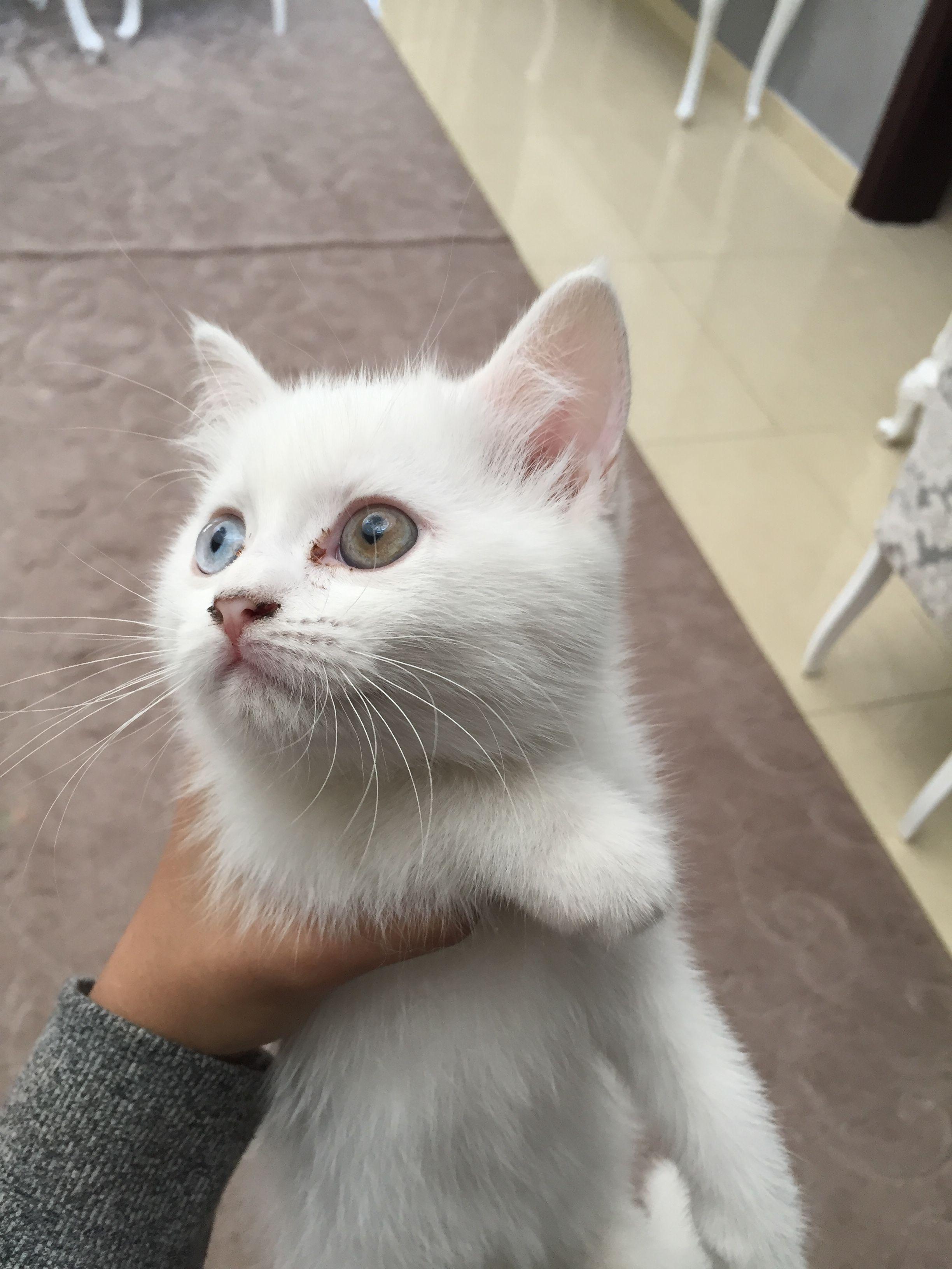 الدولة Uae رقم الموبايل 0555036923 معلومات عن الإعلان Kittens For Sale They Re A Mix Of Dlh Scottish Fold Animals Cats