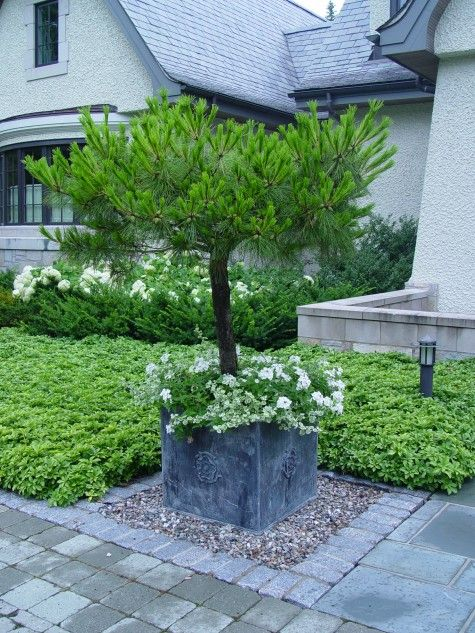 Mugho Pine Evergreen Container Plant Hardy In Zones 2 7 400 x 300