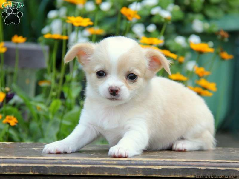 Sweetheart Chihuahua Puppy For Sale From Coatesville Pa Greenfield Puppies Cute Chihuahua Chihuahua Puppies Cute Animals