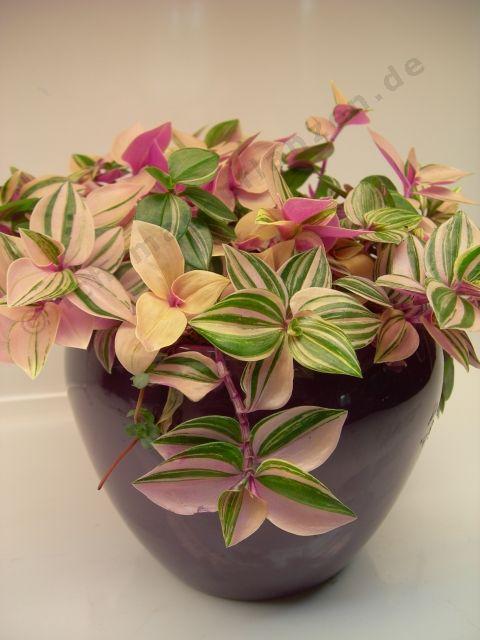 Tradescantia pendula toalilled pinterest for Dekor von zierpflanzen