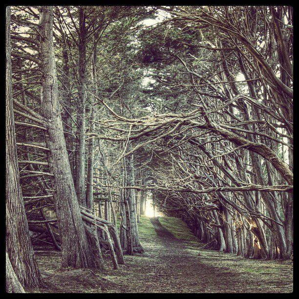 Cypress Forest At Fitzgerald Marine Reserve Fitzgerald Marine Reserve By Khenny Tree Tunnel Tree Marine Reserves