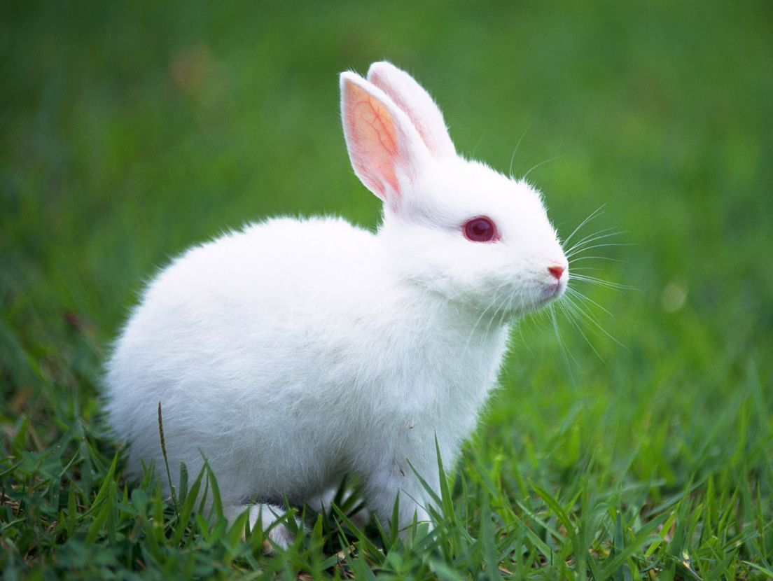 Top 10 Cutest Bunnies Image Of White Bunny In The Grass So This Was Bunny Collection They Cute Baby Bunnies Rabbit Wallpaper Albino Animals