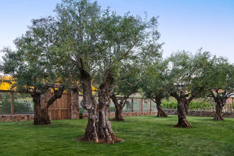 Our Specimen Olive Trees Specimen Trees Olive Tree Plants