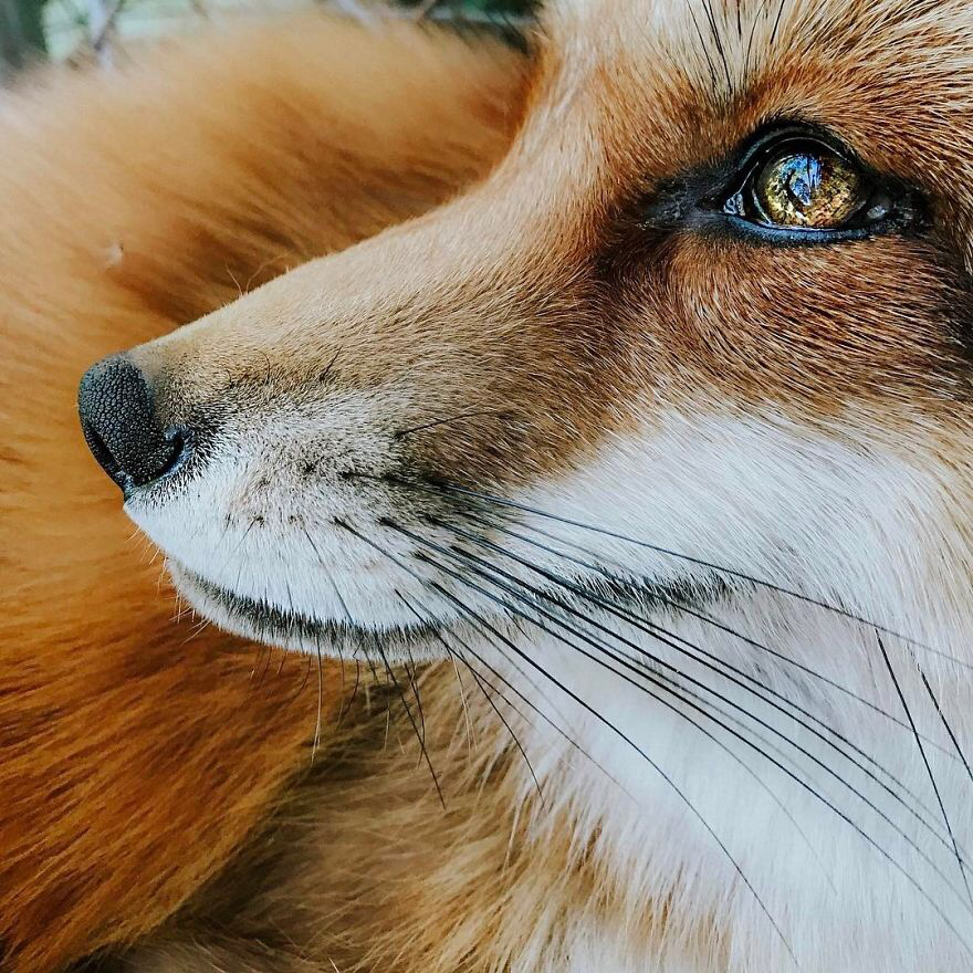 Heres What Its Like To Live With Juniper The Worlds Happiest Fox