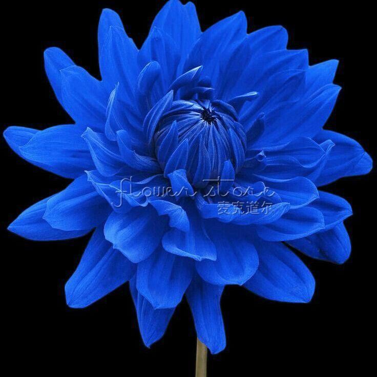 blue dahlia flowers cost