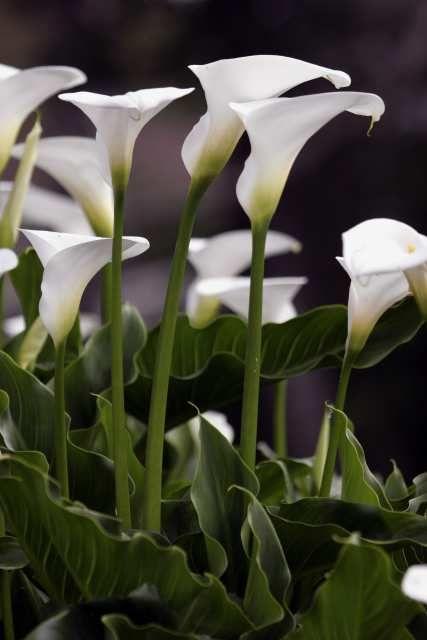 Field Of Calla Lilies