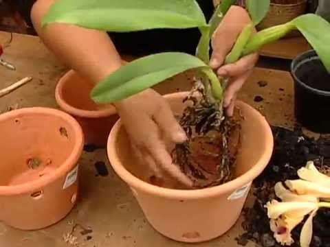 Resultado de imagem para replante da frente da orquidea