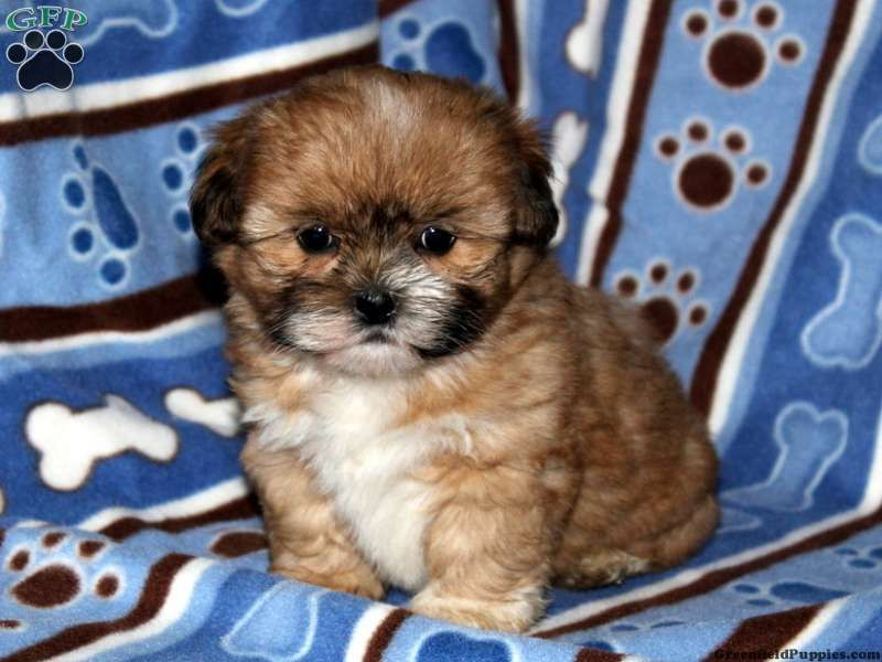 Charmer Shih Tzu Mix Puppy For Sale In Pennsylvania A Healthy