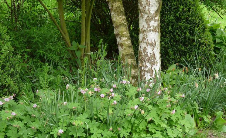 Birke Schatten Storchschnabel Garten Pinterest
