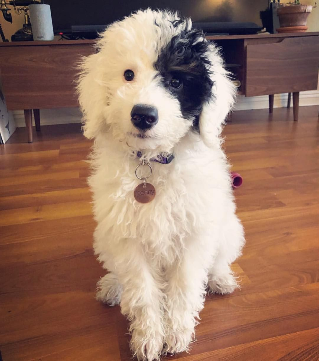 Sheepadoodle Poodle Mix Breeds Sheepadoodle Puppy Old English