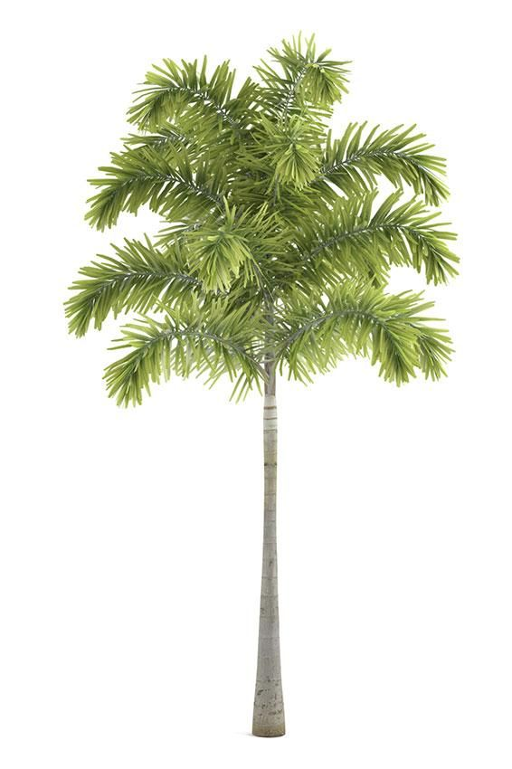 Pictures Of Different Types Of Palm Trees Palm Tree Types Palm Trees Landscaping Palm Tree Drawing