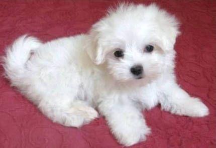 Tierforum Malteser Hunde Welpen Hundeinserat