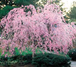 Plants Unlimited Trees Ornamental Plants Unlimited Naturally Flowering Trees Plants Flowering Cherry Tree