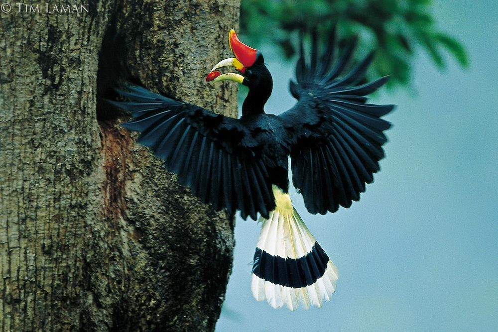 Malaysia Rhinoceros Hornbill Buceros Rhinoceros Male Carrying A Fruit To Nest In Captivity It Can Live For Up To 90 Years I World Birds Nature Birds Birds