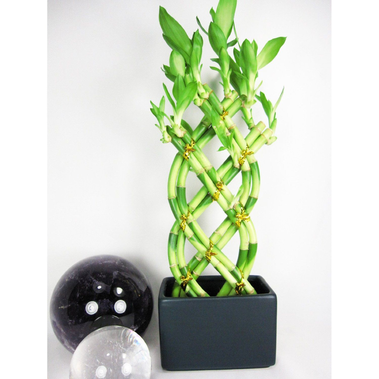 Braided style lucky bamboo plant unique things for the home live 8 braided style lucky bamboo plant arrangement with dark blue vase link reviewsmspy