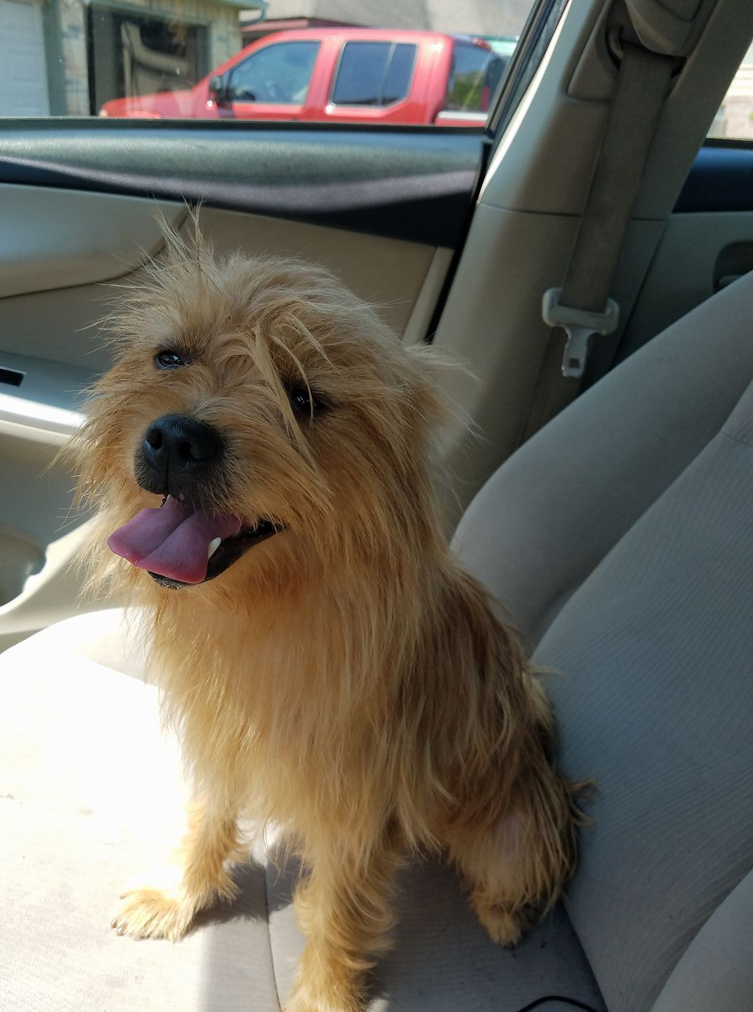 Tricia Benavides to Houston Lost and Found Pets 19 hrs · Found ... | Cairn Terrier Puppies Houston Texas