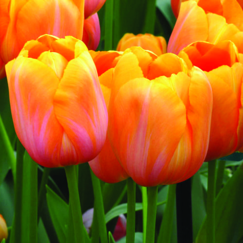 Tulipa 'Dordogne' (AGM). A glorious tulip, quite tall, up to 65cm, flowering April - early May. So special.