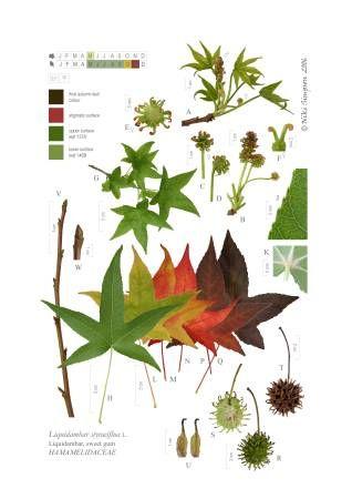 Liquidambar Familia Hamamelidaceas Plantas Bonsai Diseno De Paisaje Arbustos