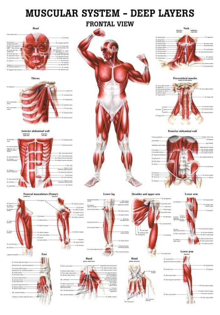 The Muscular System - Deep Layers, Front Laminated Anatomy Chart ...