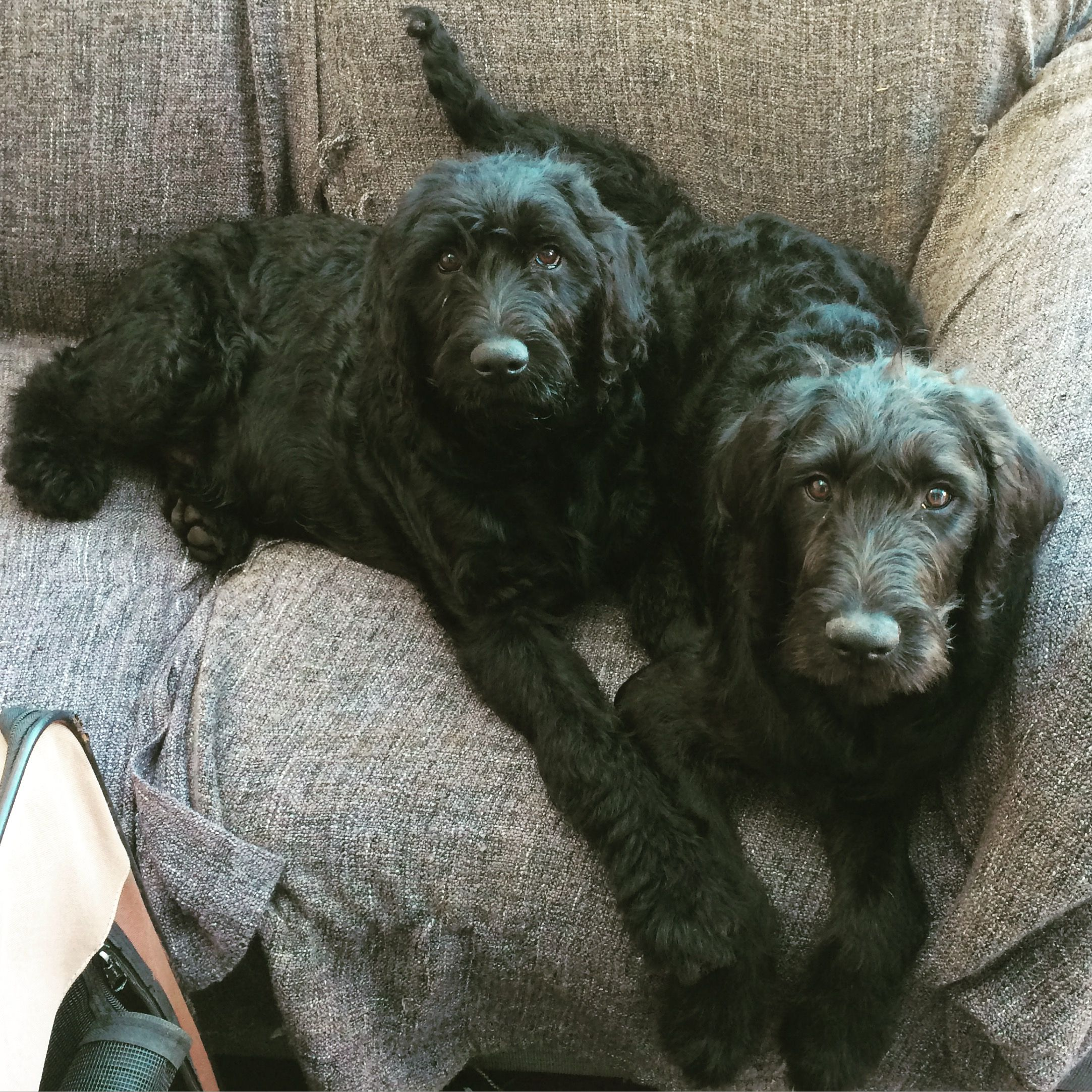 F1 Labradoodle At 5 Months Old Labradoodle F1 Labradoodle