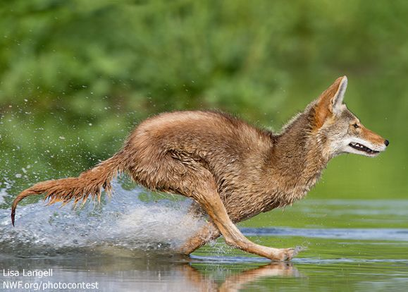 Coyote running through a wetlands | Nat'l Wildlife ...  Coyote running ...