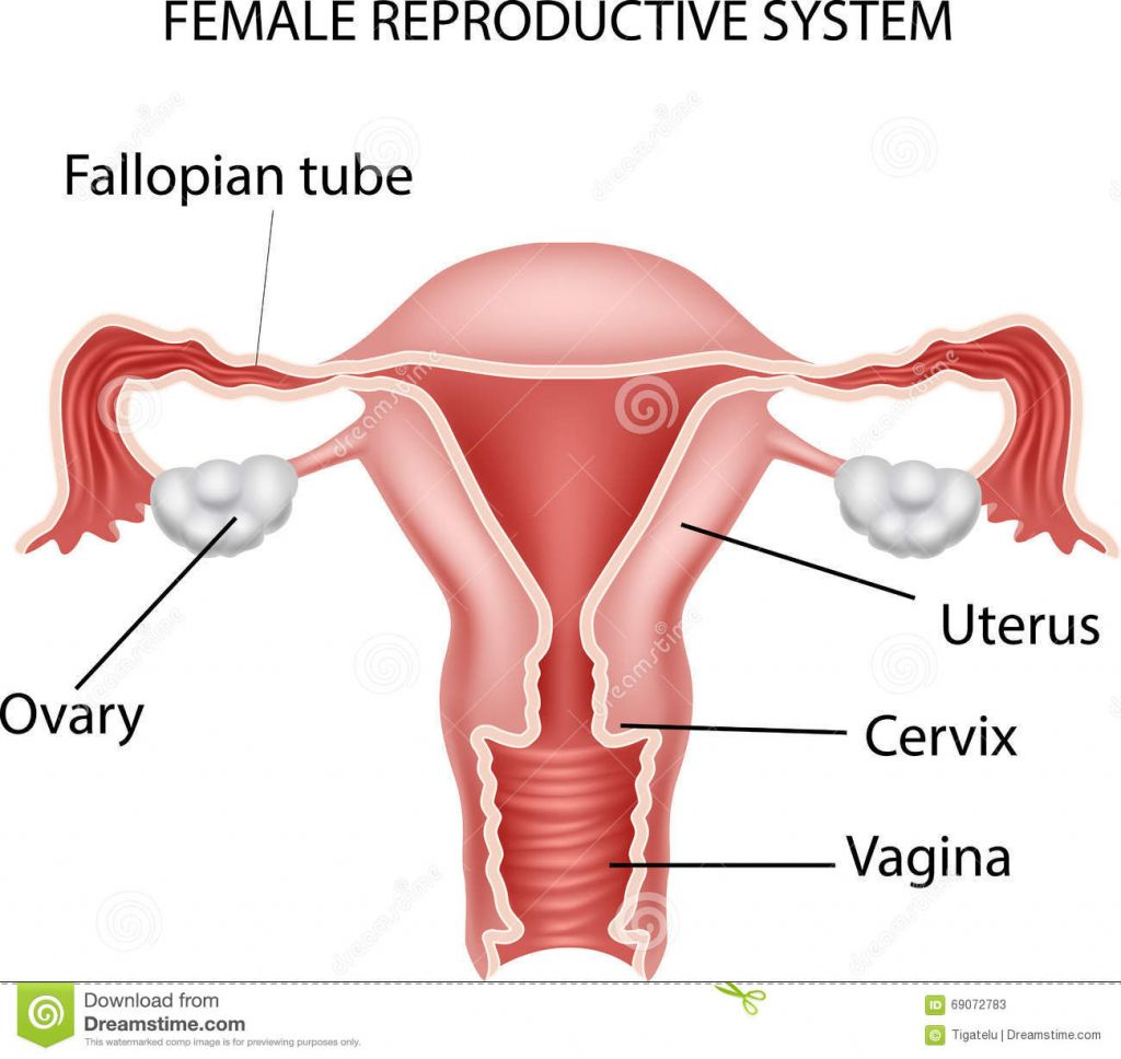 Animation Of Female Reproductive System Female