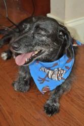 Brady Is An Adoptable Dachshund Dog In Atlanta Ga Hello There