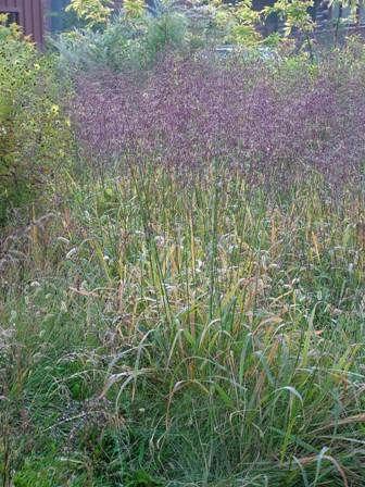 Purpletop (Tridens flavus)