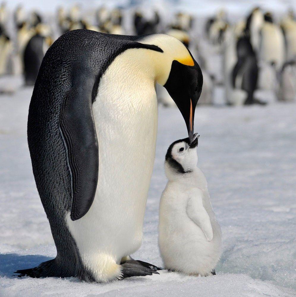 пингвин красивая картинка трехцветная