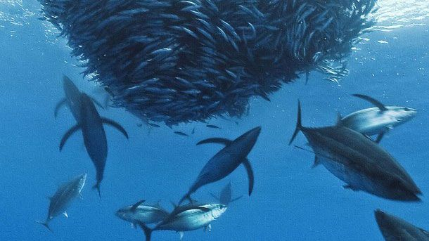 Picture of tuna feeding on bait ball