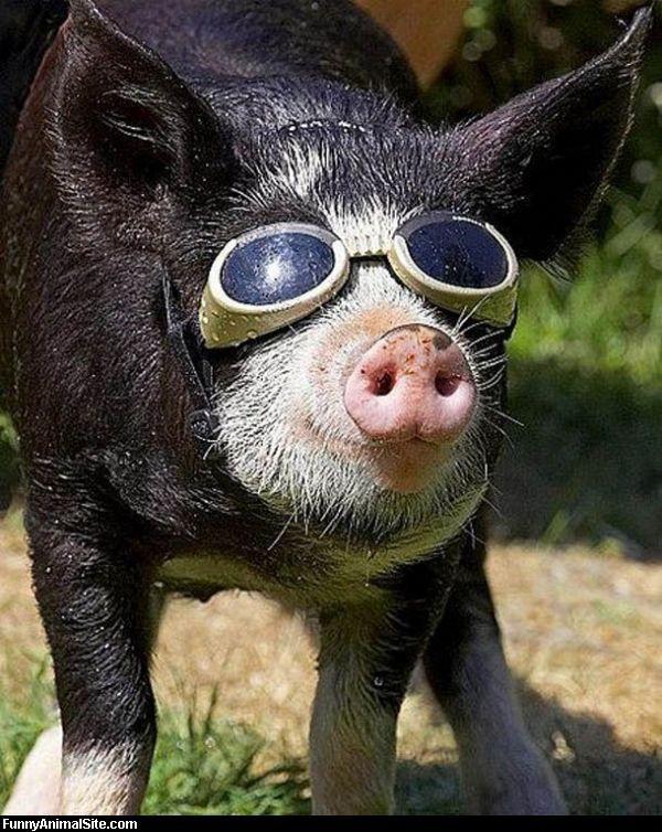 вас есть картинки свинок в очках самка отличаются