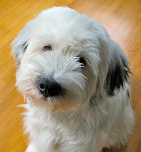 tibetan terrier my schnoodle recently disappeared and