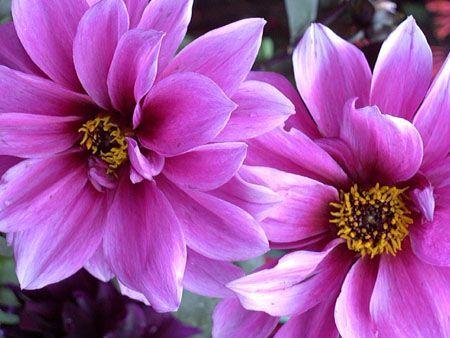 Royal flower flora pinterest flowers flower power and purple royal flower white flowers namesyellow mightylinksfo