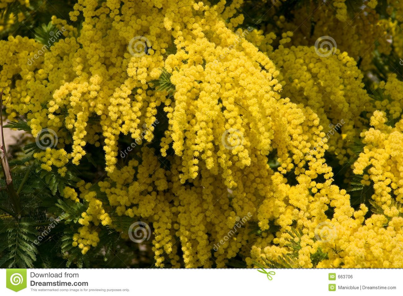 Yellow Tree With Hanging Yellow Flowers Yellow Mimosa Royalty Free