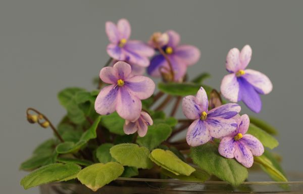 African Violet Rob's Miriwinni -  Mini fantasy-chimeric trailer with very nice heart shaped leaves.  Arrived 10-21-16.