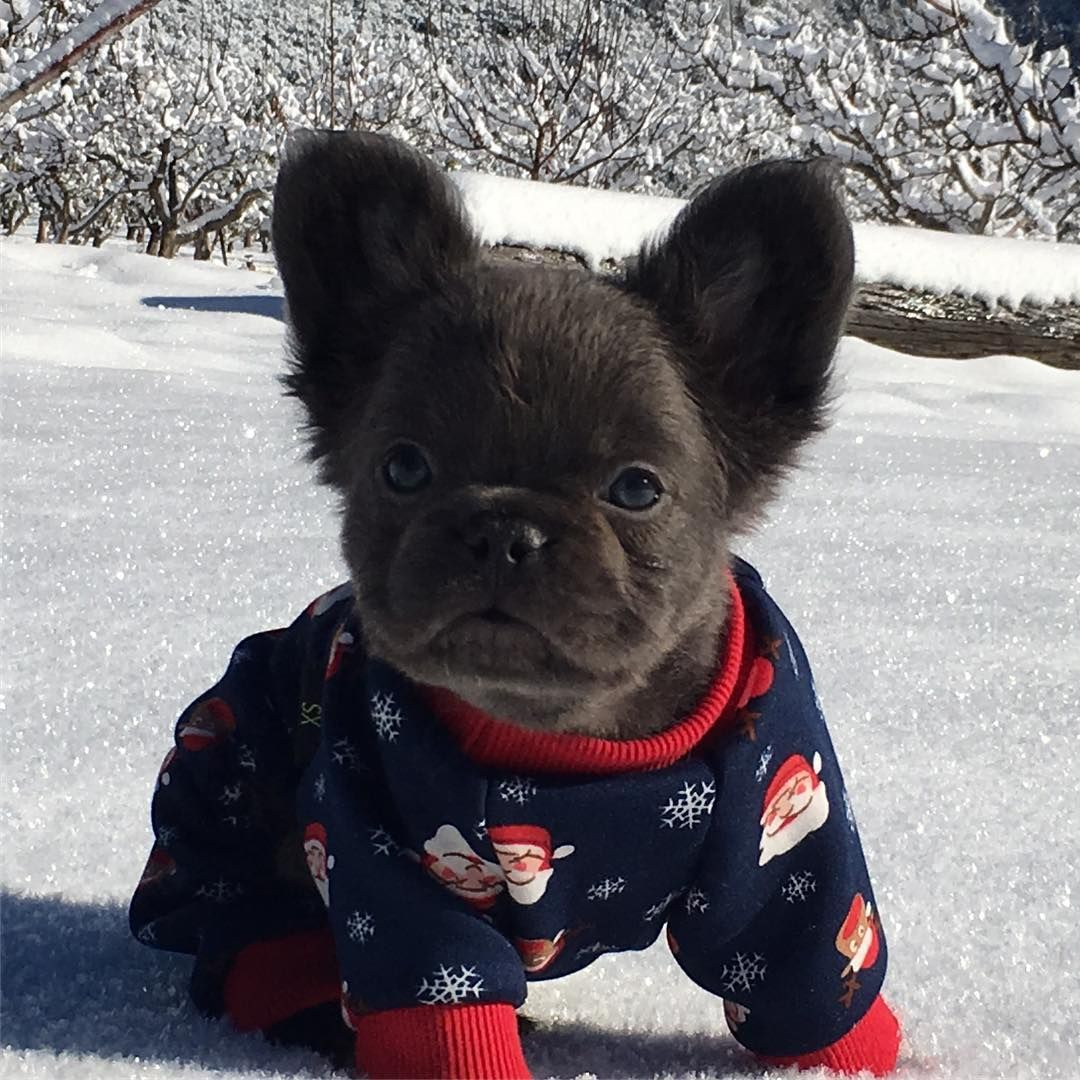 Fozzy S First Christmas Fozzy The Fluffy Frenchie
